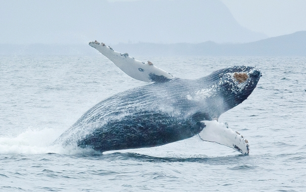 Breaching Humpback Whale near Tofino, Vancouver Island, BC, Canada. Photograph by: Stuart Slavicky , Getty Images/iStockphoto